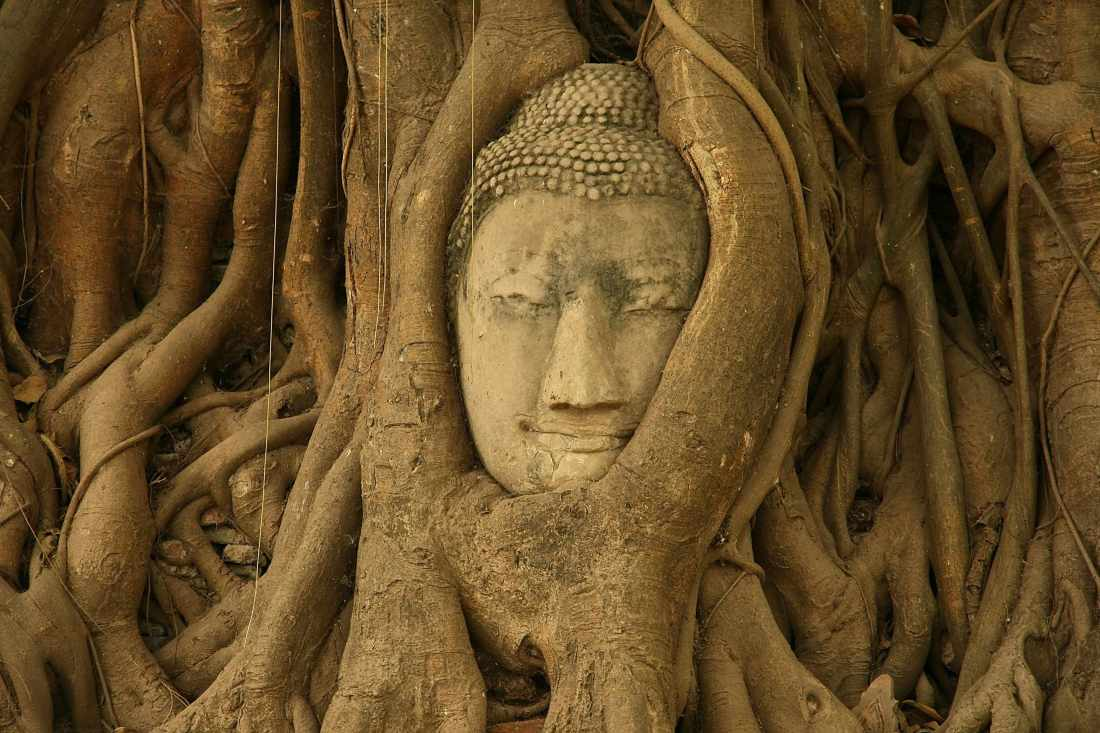 Stone Buddha head enveloped by roots