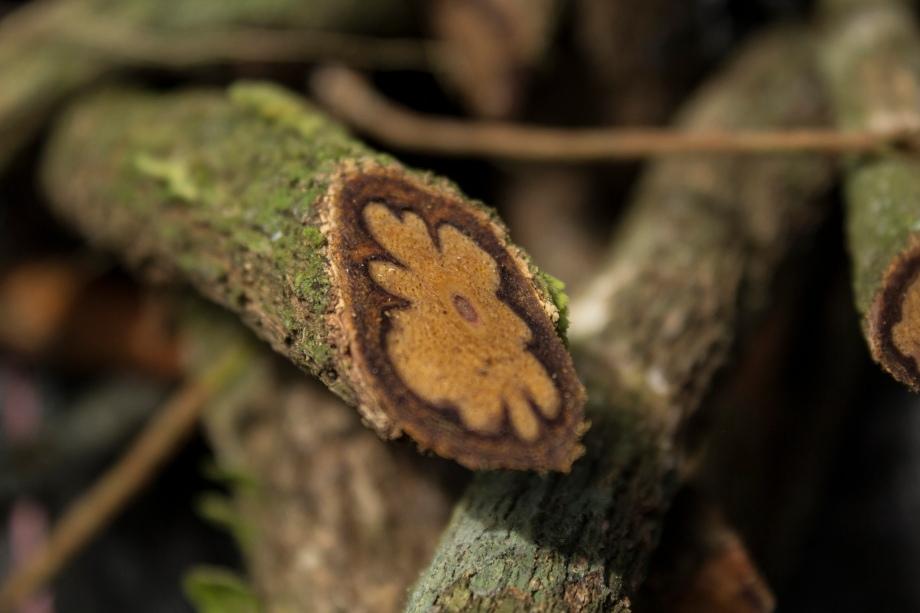 Ayahuasca vine Banisteriopsis caapi